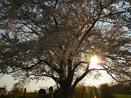 為内の一本桜13(2012.5.7)
