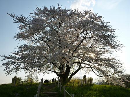 為内の一本桜14(2012.5.7)
