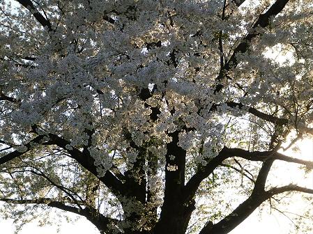 為内の一本桜15(2012.5.7)