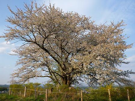 為内の一本桜20(2012.5.7)