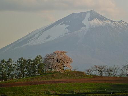 為内の一本桜24(2012.5.7)