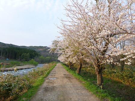 安比川の桜並木02(2012.5.7)