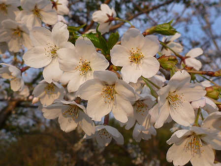 安比川の桜並木03(2012.5.7)