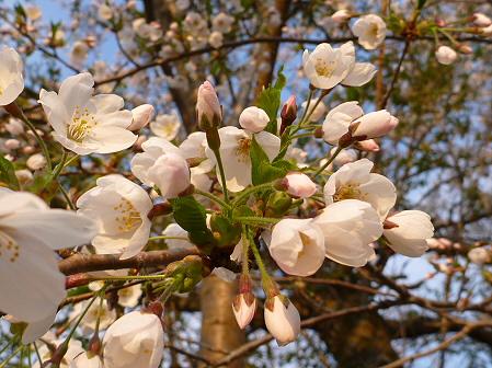 安比川の桜並木04(2012.5.7)