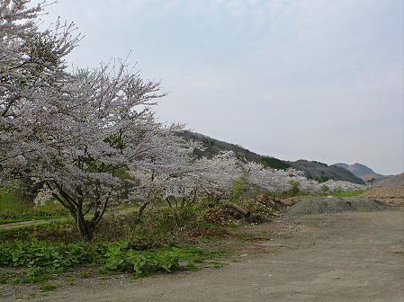 安比川の桜並木06(2012.5.7)