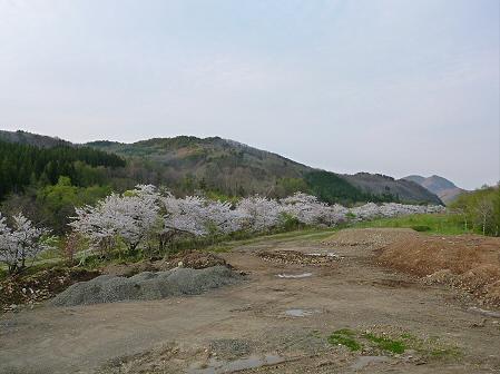 安比川の桜並木07(2012.5.7)