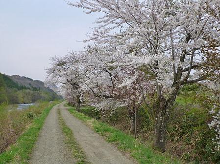 安比川の桜並木08(2012.5.7)
