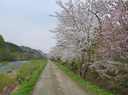 安比川の桜並木09(2012.5.7)