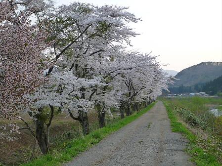 安比川の桜並木12(2012.5.7)