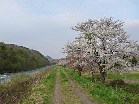 安比川の桜並木14(2012.5.7)