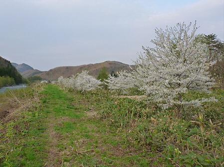 安比川の桜並木17(2012.5.7)