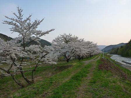 安比川の桜並木20(2012.5.7)