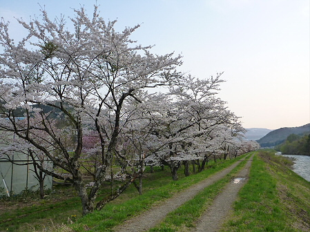 安比川の桜並木21(2012.5.7)