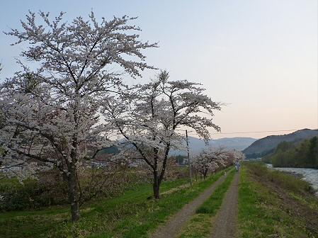 安比川の桜並木25(2012.5.7)