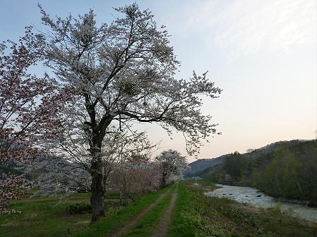 安比川の桜並木26(2012.5.7)