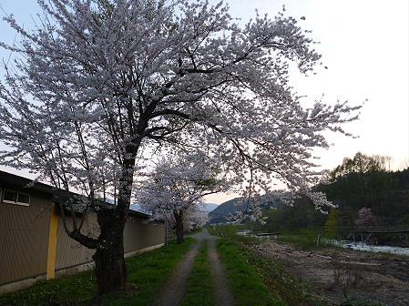 安比川の桜並木27(2012.5.7)