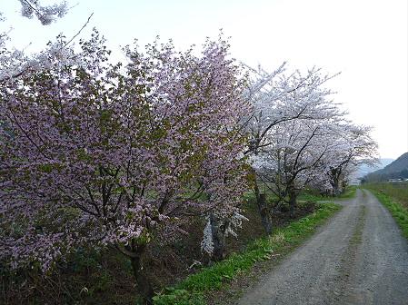 安比川の桜並木28(2012.5.7)