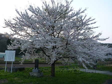 安比川の桜並木35(2012.5.7)