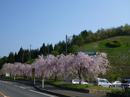 道の駅にしねのシダレザクラ02(2012.5.9)