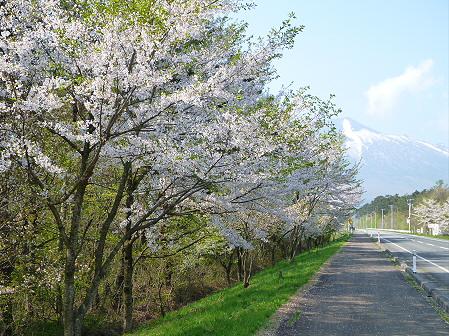 上坊牧野入口付近の桜並木04(2012.5.9)
