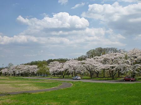 トラウトガーデンの桜並木02(2012.5.9)