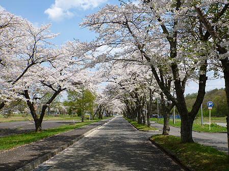 トラウトガーデンの桜並木03(2012.5.9)
