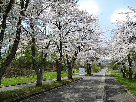 トラウトガーデンの桜並木04(2012.5.9)