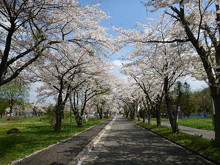トラウトガーデンの桜並木06(2012.5.9)