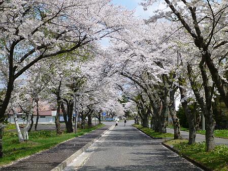 トラウトガーデンの桜並木07(2012.5.9)