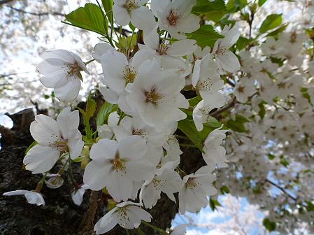 トラウトガーデンの桜並木08(2012.5.9)