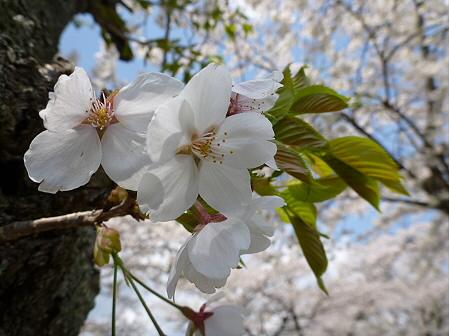 トラウトガーデンの桜並木09(2012.5.9)
