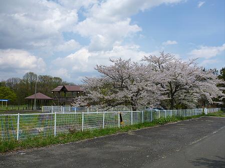 トラウトガーデンの桜並木12(2012.5.9)