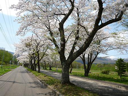 トラウトガーデンの桜並木14(2012.5.9)