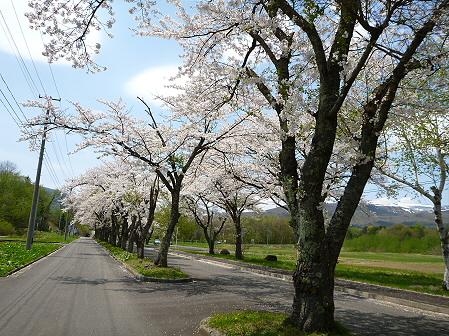 トラウトガーデンの桜並木15(2012.5.9)