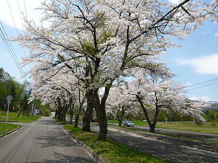 トラウトガーデンの桜並木16(2012.5.9)