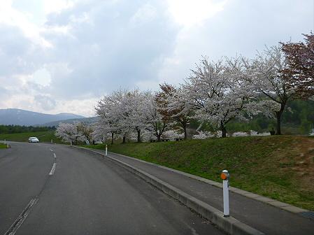 八幡平市さくら公園の桜02(2012.5.9)