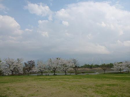 八幡平市さくら公園の桜03(2012.5.9)