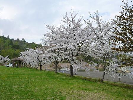 八幡平市さくら公園の桜04(2012.5.9)