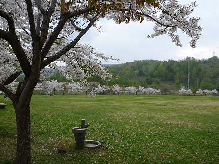 八幡平市さくら公園の桜06(2012.5.9)