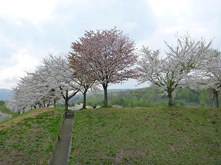 八幡平市さくら公園の桜07(2012.5.9)