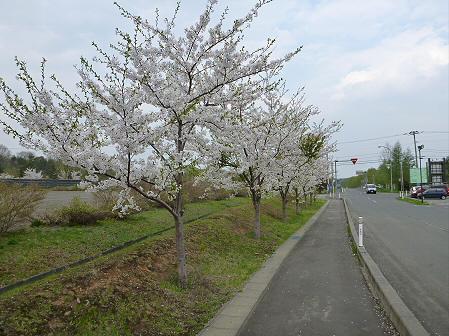 八幡平市さくら公園の桜08(2012.5.9)