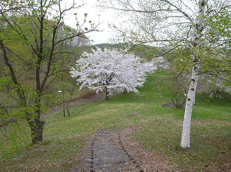 八幡平市さくら公園の桜12(2012.5.9)