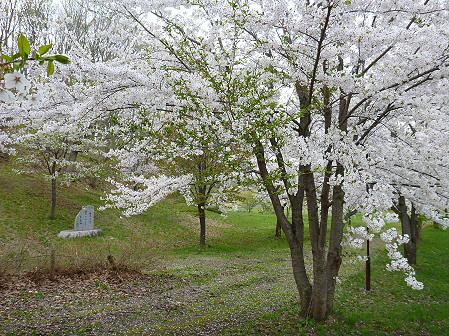 八幡平市さくら公園の桜13(2012.5.9)
