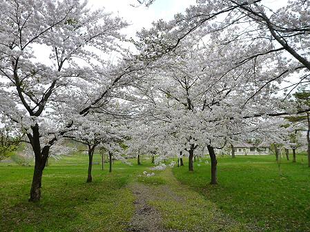 八幡平市さくら公園の桜14(2012.5.9)