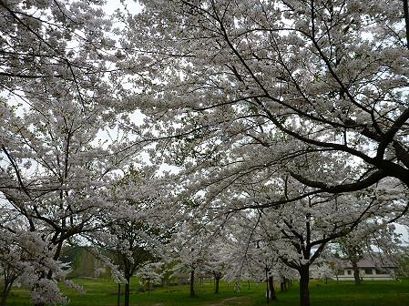 八幡平市さくら公園の桜15(2012.5.9)