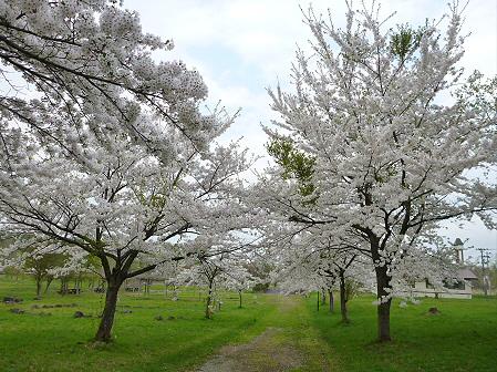 八幡平市さくら公園の桜16(2012.5.9)