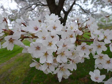 八幡平市さくら公園の桜17(2012.5.9)