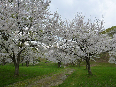八幡平市さくら公園の桜18(2012.5.9)