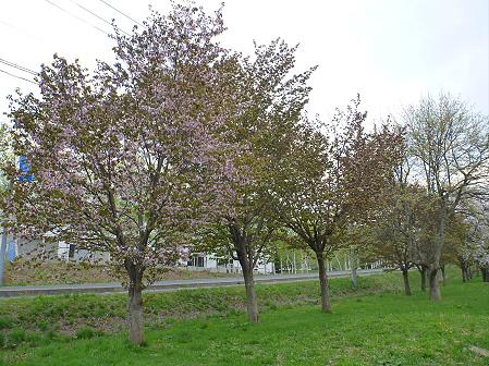 八幡平市さくら公園の桜19(2012.5.9)