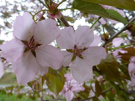 八幡平市さくら公園の桜20(2012.5.9)